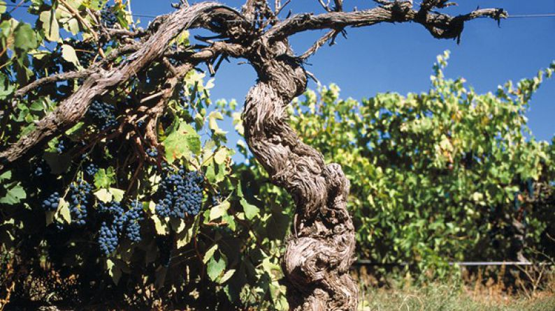 Grapes on gnarled, Old Shiraz Vine