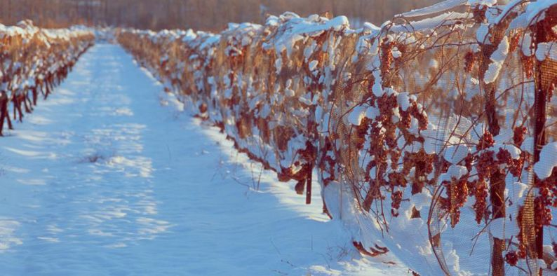Icewine vineyards