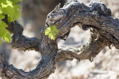 Vega Sicilia's vines
