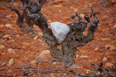 Vineyards at Valdepusa