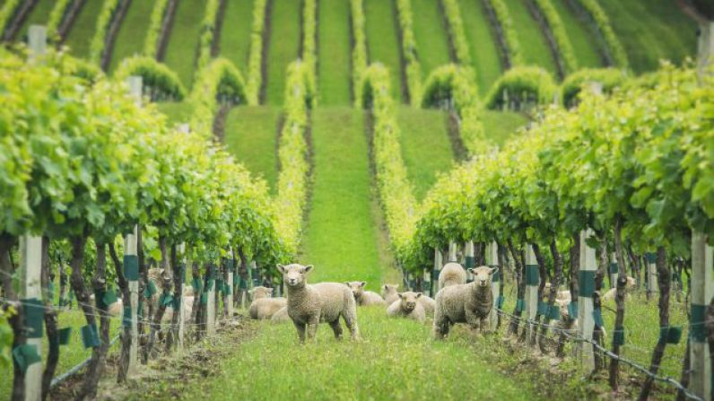 MOËT suffers sheep theft in Champagne