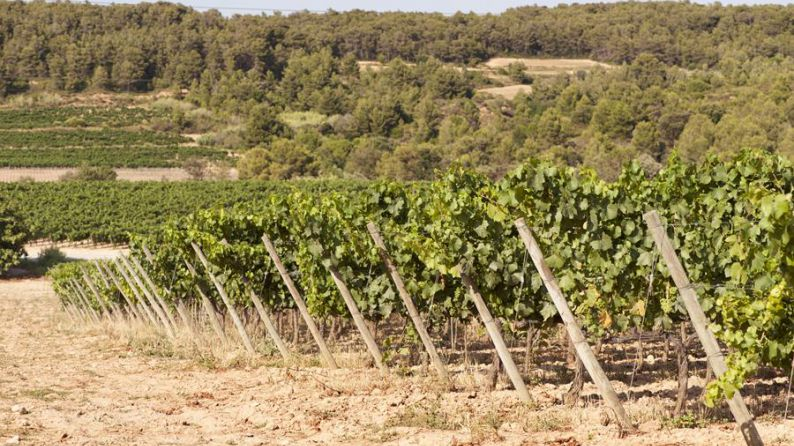 La Scala vineyard, Cabernet Sauvignon variety