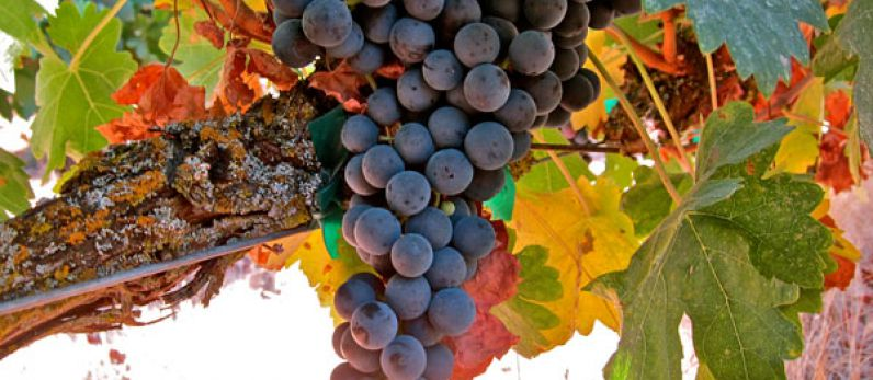 "Tempranillo, the next ""International Variety""?"