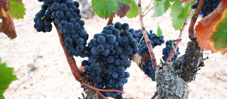 Monastrell, wines from the sun