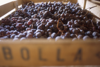 Drying Amarone grapes (Bolla)