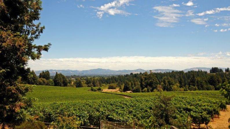 Marimar Estate Vineyard - Pinot Noir variety - Dijon 115 clone