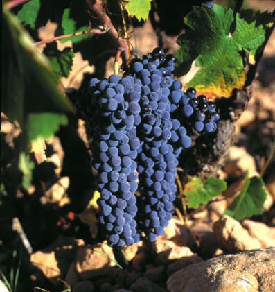Monastrell,  considered to be the Jumilla D.O.'s native grape variety