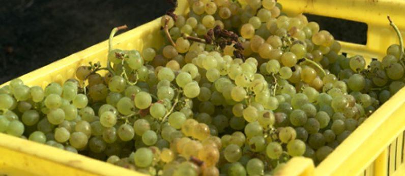 La vendimia de Lanzarote supera los 2 millones de kilos de uva recogidos