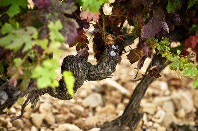 """Detalle de uno de los viñedos que forman parte de """"la orquesta"""""""