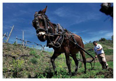 La mula Morena y Fredi Torres. Saó del Coster.