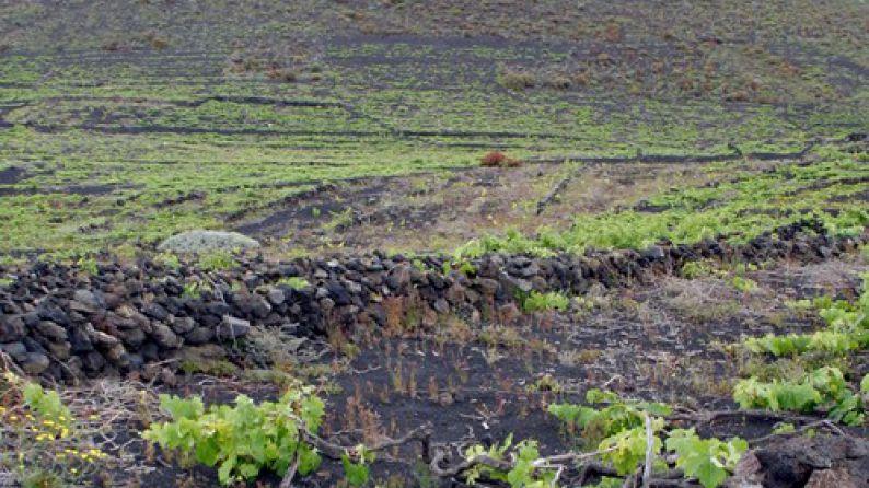 Viñedos en la Isla de la Palma