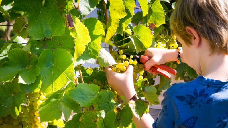 Buen ambiente en los viñedos de Hiruzta en el 7º Día de la Vendimia de Hondarribia.
