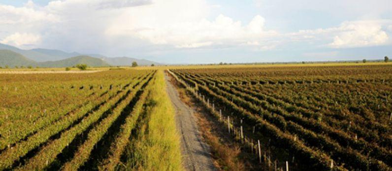 Georgia, tinajas y vino blanco
