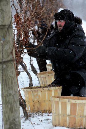 Un vendimiador en la bodega Terlato (Canadá)