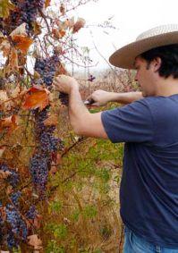 """Vendimia en el viñedo """"salvaje"""" Villalobos, en Colchagua (Chile)"""