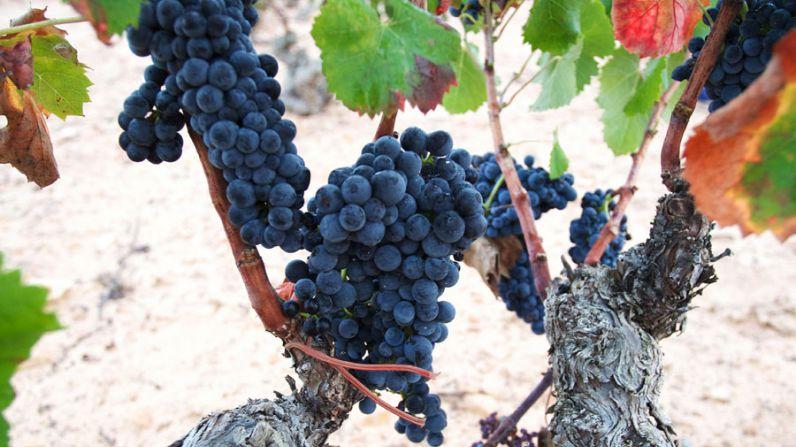 Uva Monastrell, una variedad autóctona del Levante