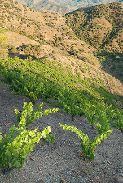 Viñedos de la Bodega Llach