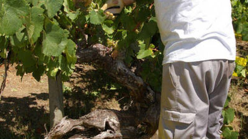 Valdesil finaliza una difícil vendimia que augura vinos de larga vida con una producción similar a la del 2011