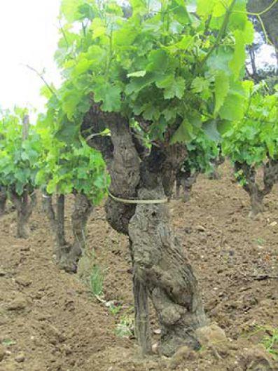 Detalle de una cepa en los viñedos de Château Rayas