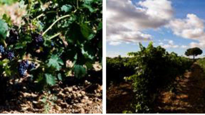La tradición milenaria de la vendimia vuelve a la ruta del vino Ribera de Duero