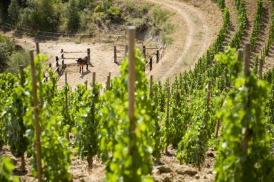 Mulas con las que trabajan las viñas de Álvaro Palacios